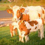 Grimberghof Kürten Dürscheid Rinder aus eigener Haltung. Hofschlachtung. Bestes Rindfleisch aus dem Bergischen Land, Aufzucht in Ammenhaltung