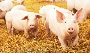Strohschweine Bestes Fleisch von der Hofmetzgerei Grimberghof in Kürten Dürscheid